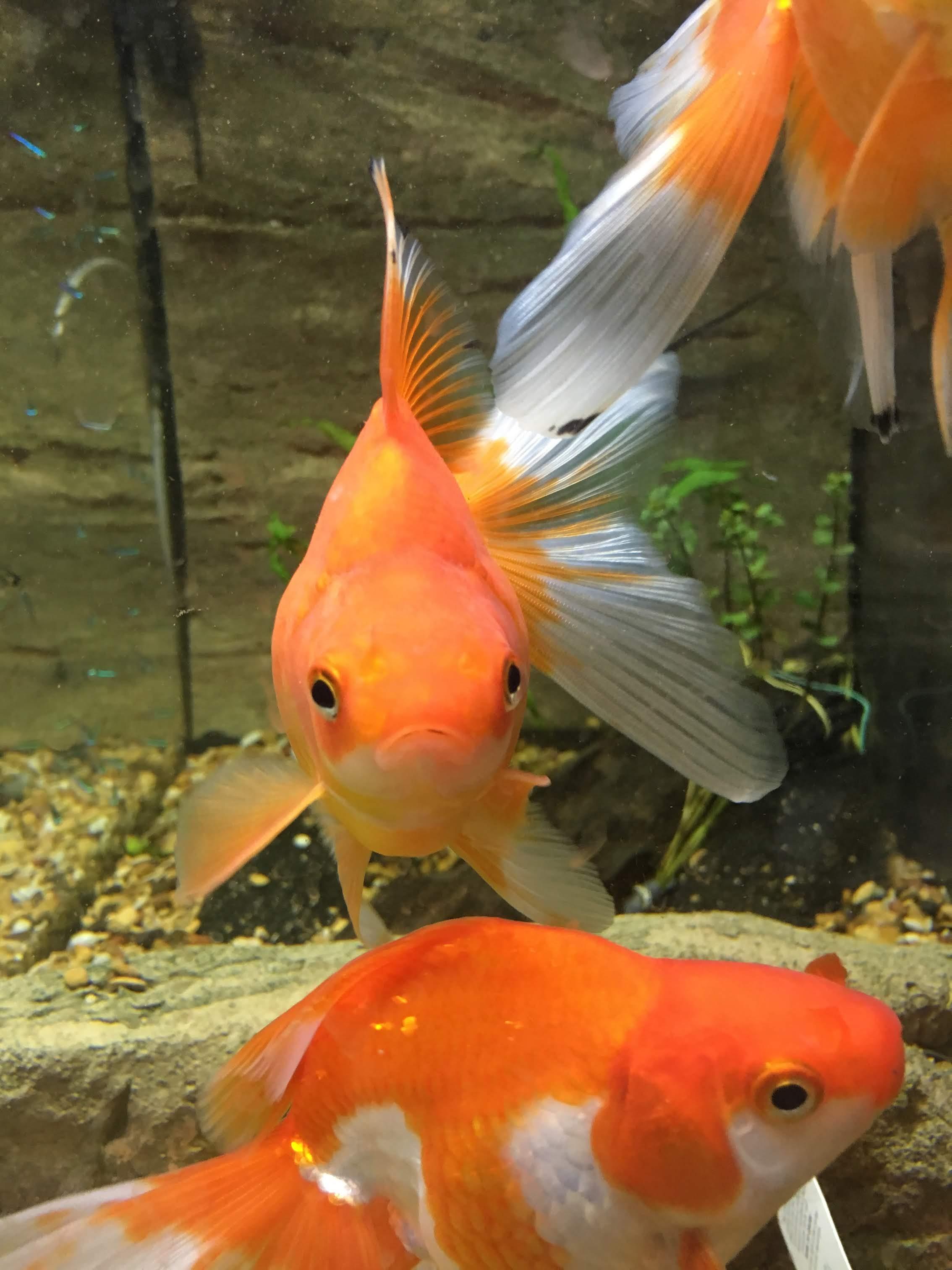Red And White Ryukin Goldfish