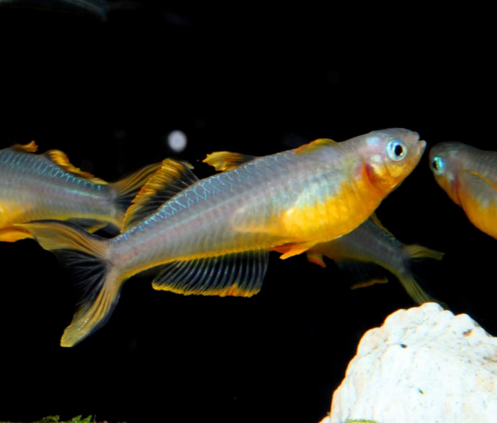 Celebes Rainbow Fish Live Fish And Tropical Pets
