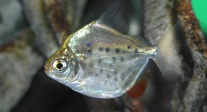 Spotted Silver Dollar Fish 1 3 4 To 2 Inch Live Fish And Tropical Pets