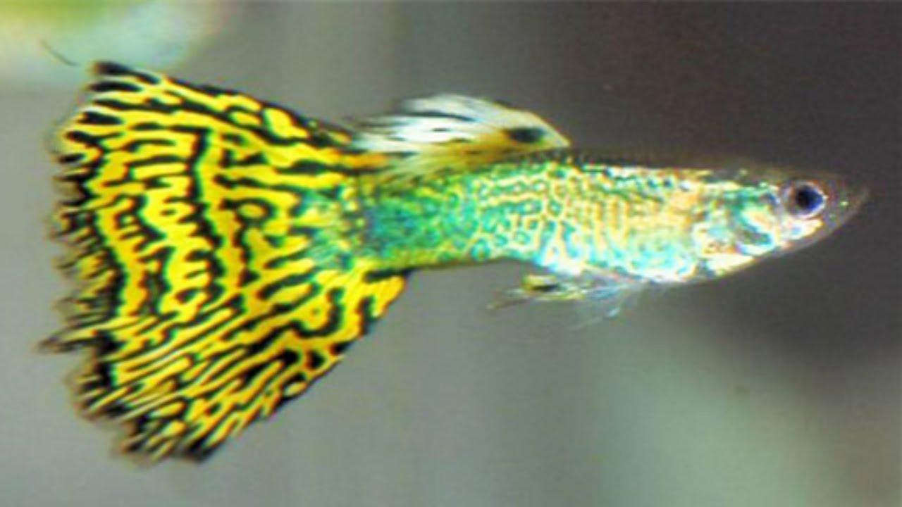 Cobra Guppy Green Green Cobra Guppy 1 Pair Live Fish And Tropical Pets