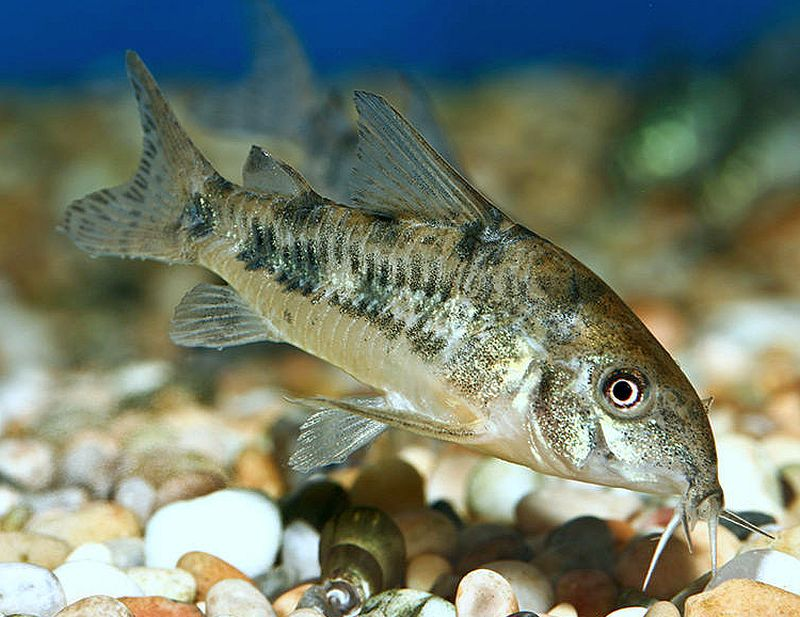 Peppered Cory Catfish Live Fish And Tropical Pets