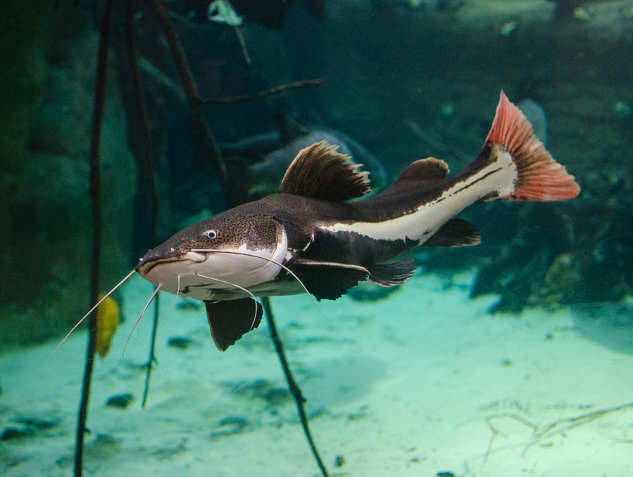 Catfish For Sale >> Red Tail Catfish 3to4 Inch Live Fish And Tropical Pets