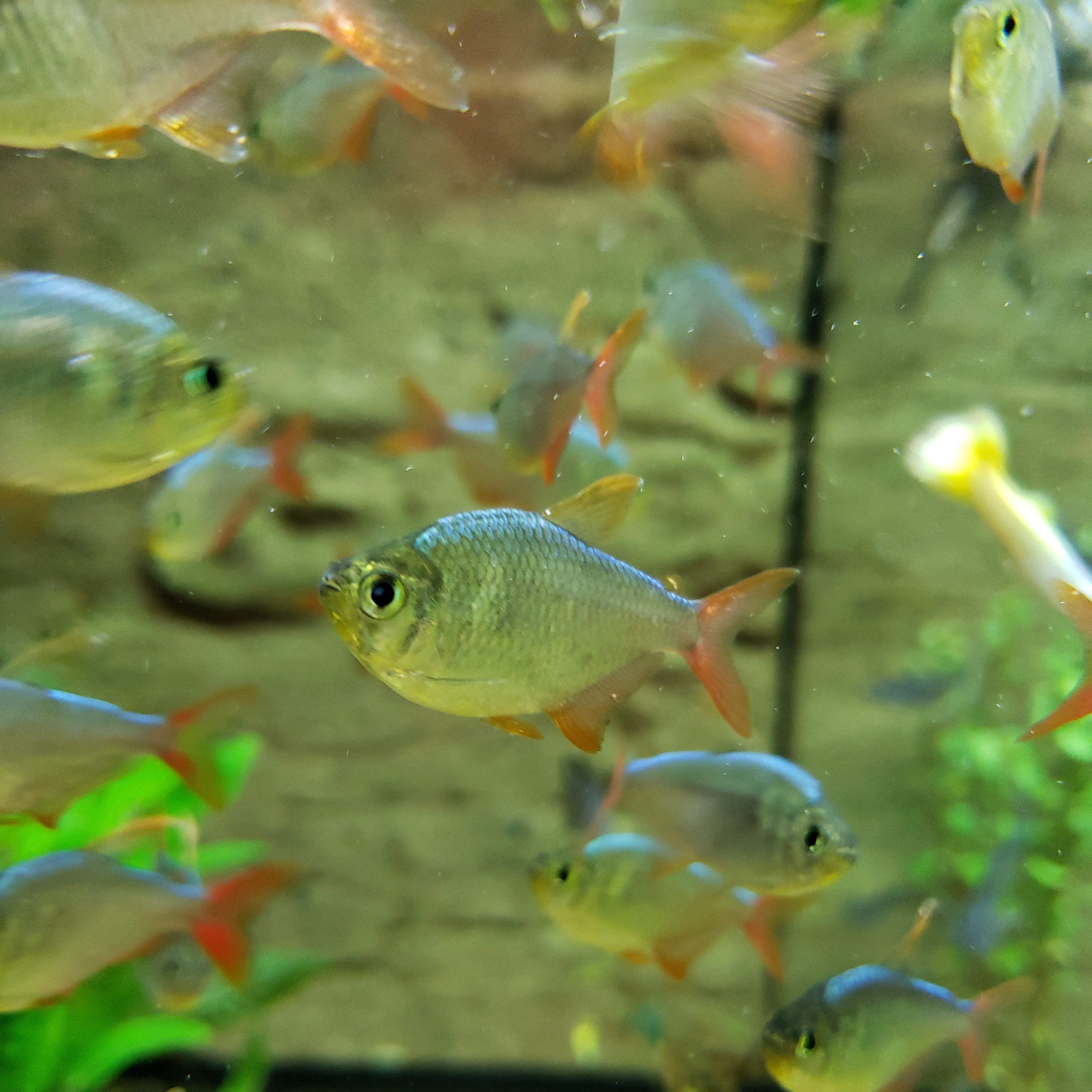 Colombian Redfin Tetra Live Fish And Tropical Pets